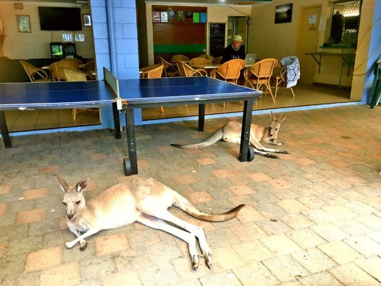 Cape Hillsborough Tourist Park resident kangaroos