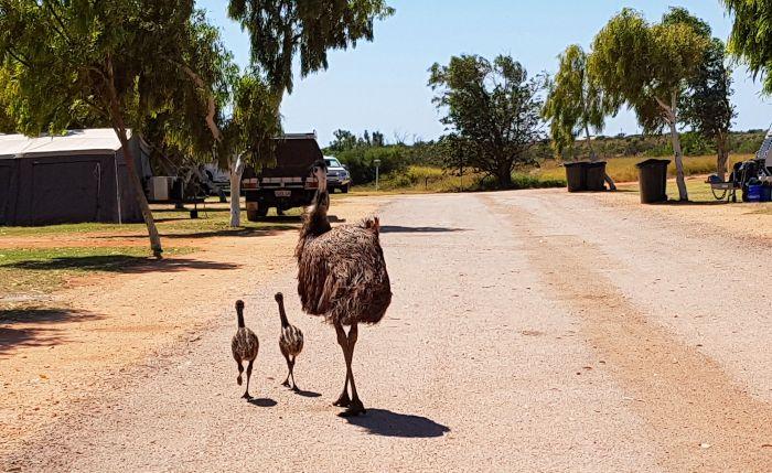 Emu stroll through Exmouth Caravan Park