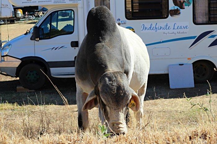 Cattle freely roam around