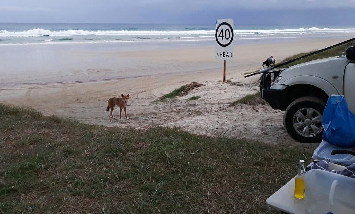 Dingo checking out our campsite on Fraser Island