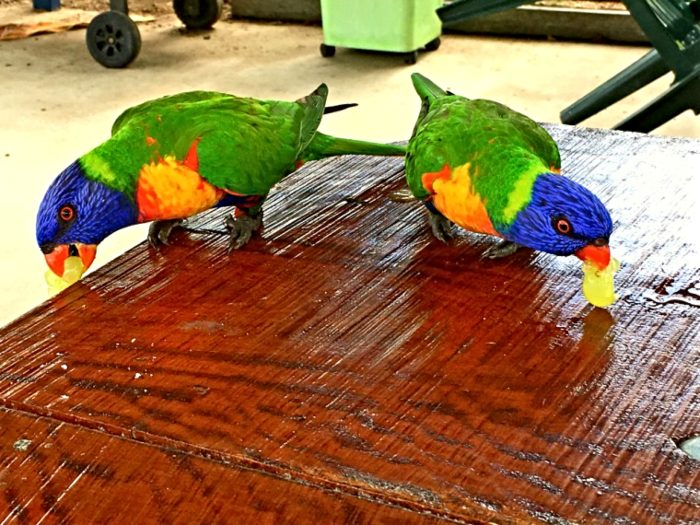 Lorikeets enjoying some grapes