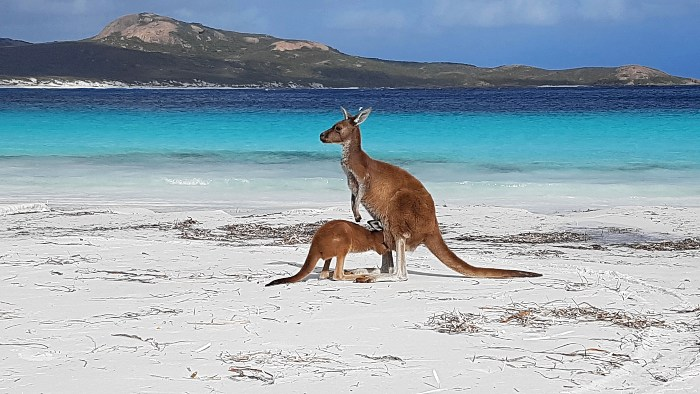 Lucky Bay Kangaroos - One of the most Amazing Things to do in Western Australia
