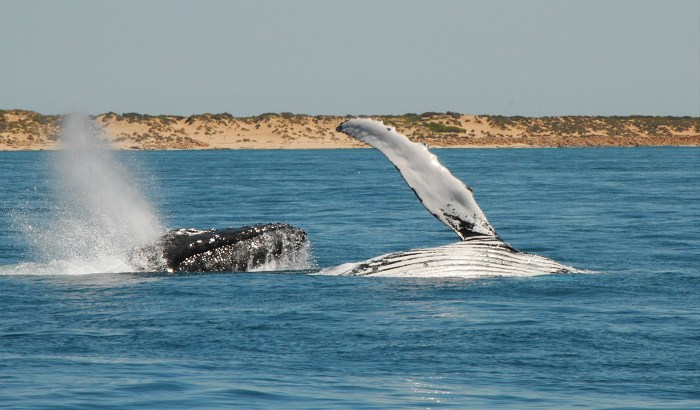 15 Things you must do on the Sunshine Coast - Whale Watching