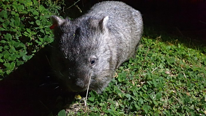 Wombat watch at Wilsons Prom