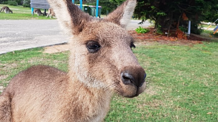 A close up with one of the local resident kangaroos