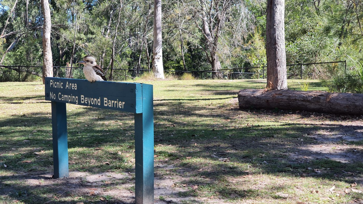 Kookaburra camping out at Coochin Creek