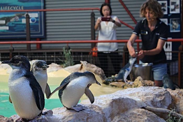Little Penguins at Penguin Island