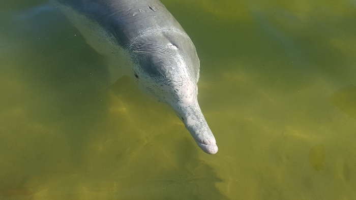 One of the wild dolphins at Tin Can Bay