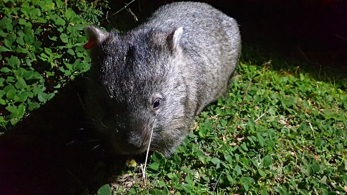 Wombat Watch