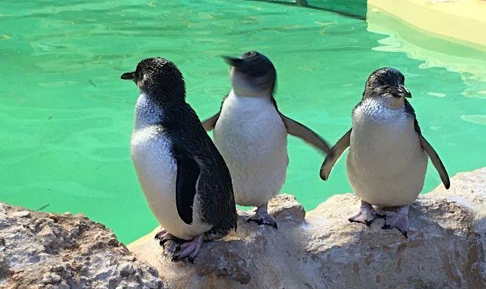 Penguin Island Trio