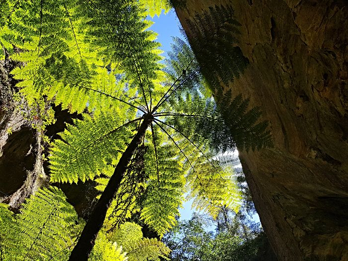 Awesome Tree Ferns at Wards Canyon