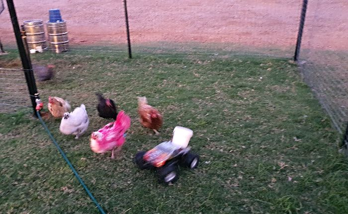 Ben's Chicken Races in Tambo